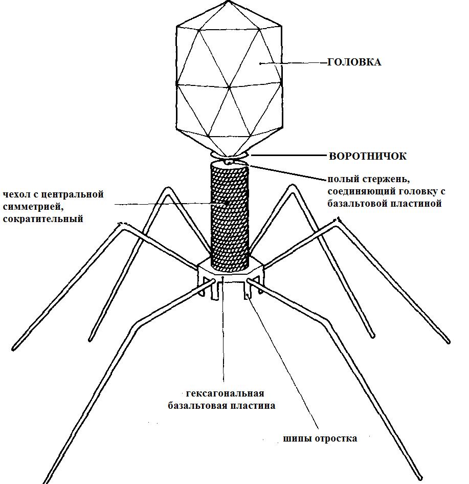 Бактериофаги относят к