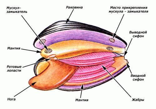 Чем питаются двустворчатые моллюски