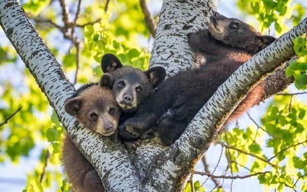 Дикие животные медведь