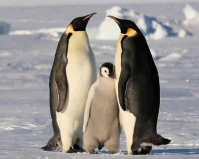 Пингвины моногамны