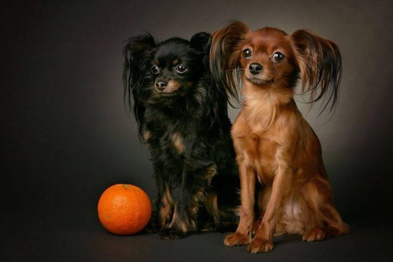 Маленькая черная собака