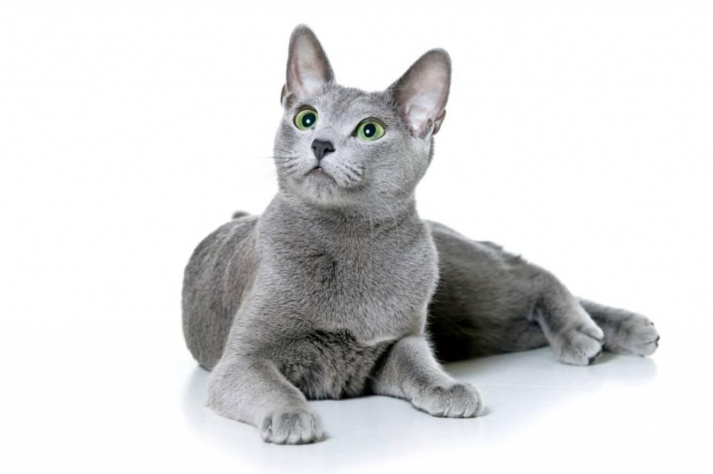 Лучшие кошки для дома