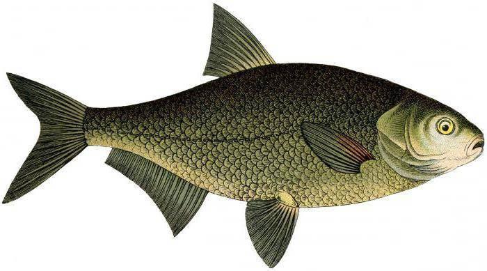 К какому классу животных относятся рыбы