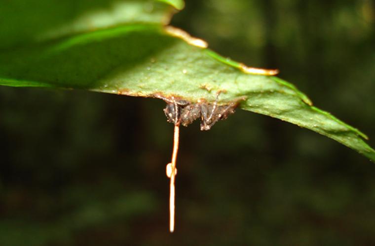 Гриб паразит муравья