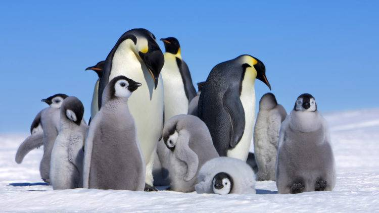 Императорский пингвин интересные факты