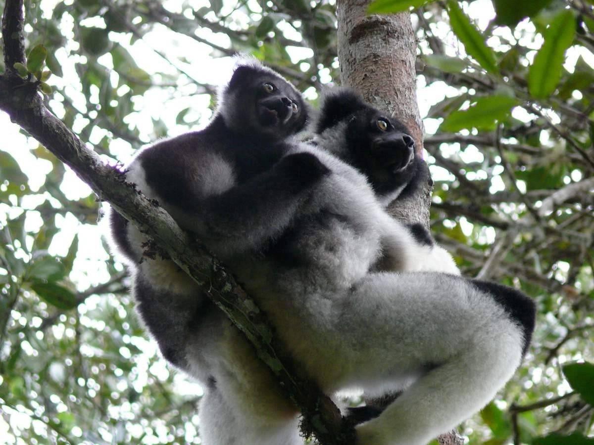 Мадагаскарский примат 5 букв