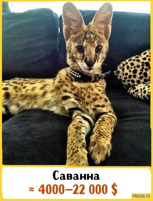 Тигровая кошка фото домашняя