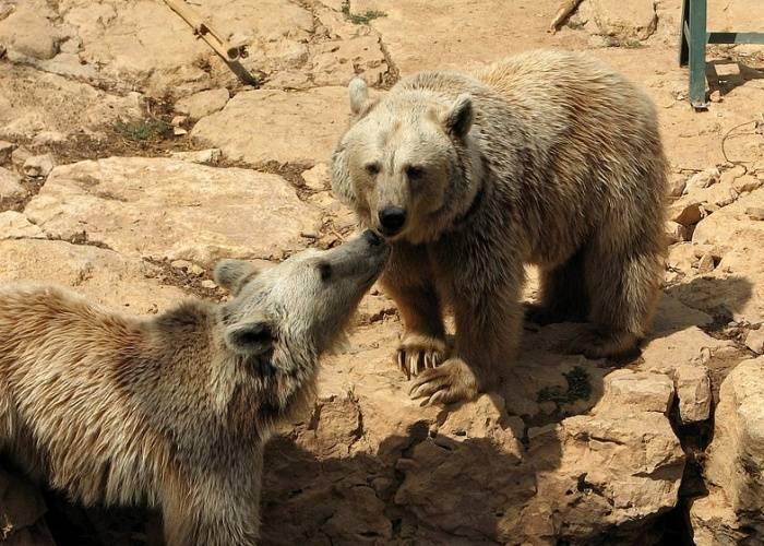 Рост бурого медведя
