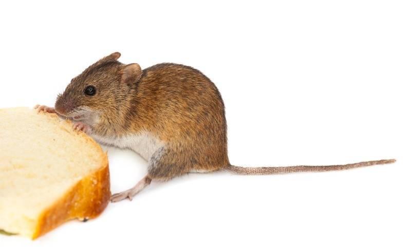 Что едят мышки