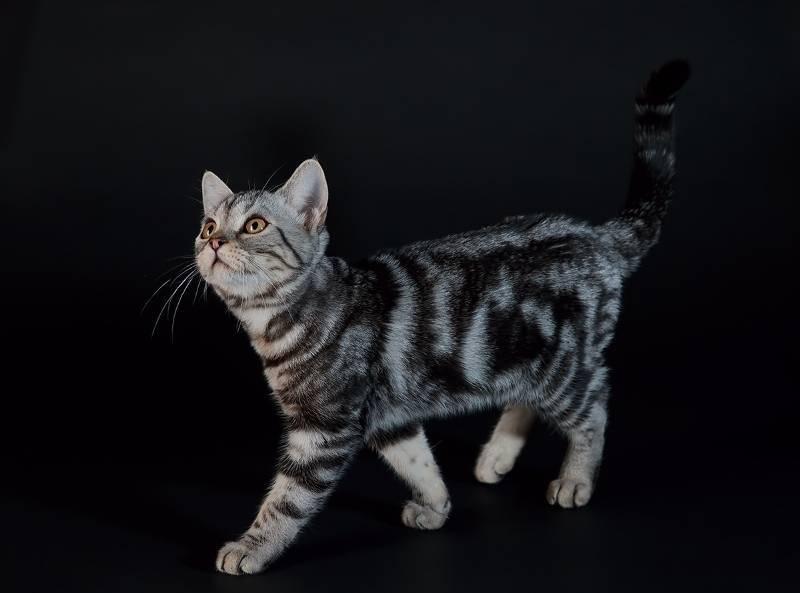 Кошка американка