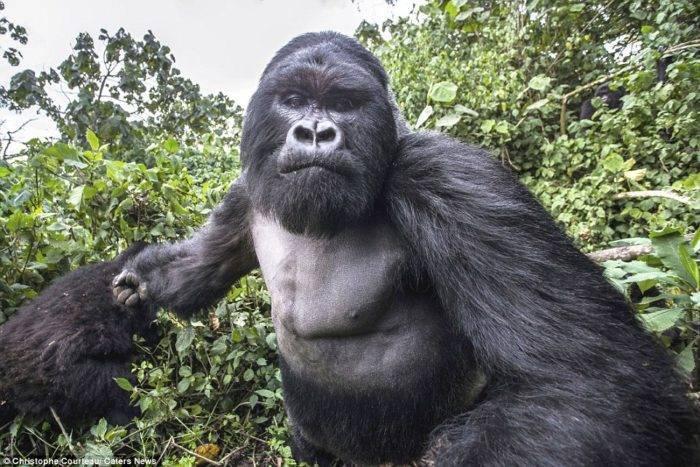 Где живут гориллы в какой стране
