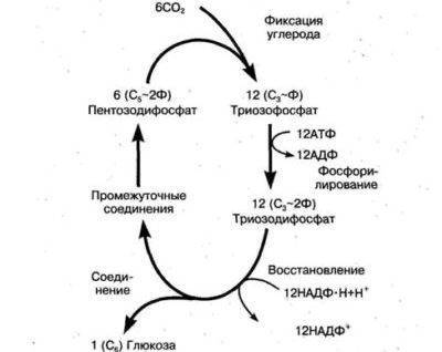Стадия фотосинтеза при которой образуется глюкоза