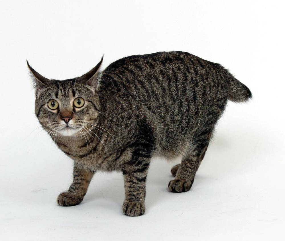 Как называется кошка похожая на леопарда