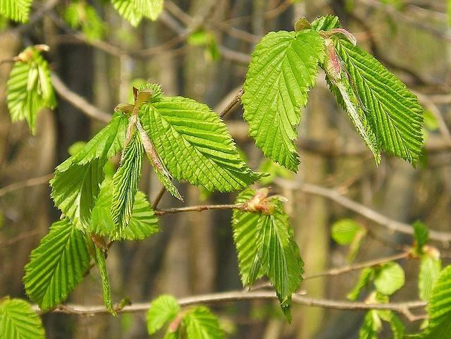 Что растет в широколиственных лесах