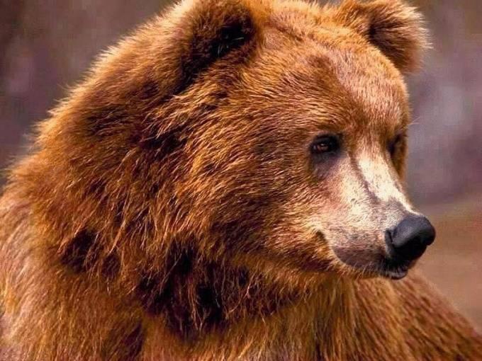 Средняя продолжительность жизни медведя