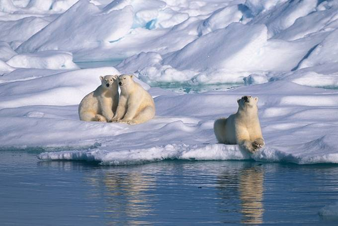 Белый медведь краткое описание для детей
