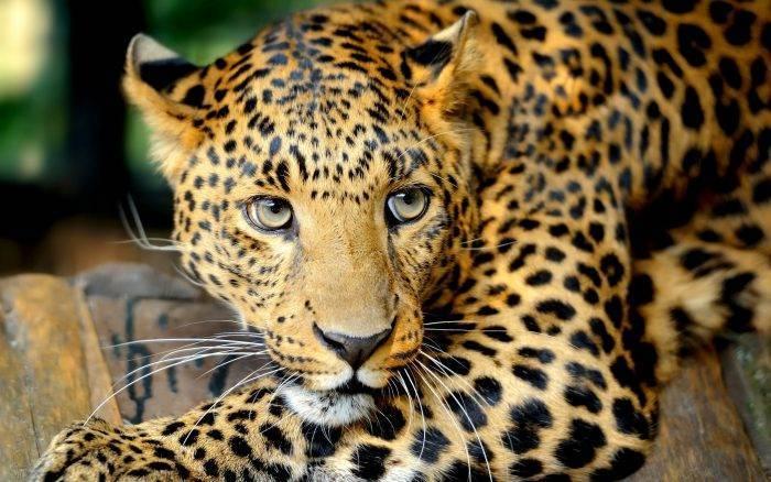 На каком материке обитает ягуар
