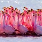 Среда обитания фламинго