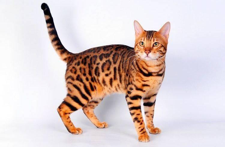 Название диких кошек