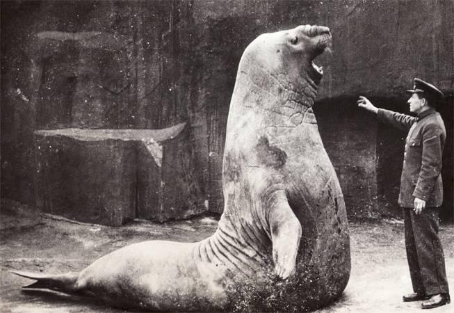 Где обитают морские слоны