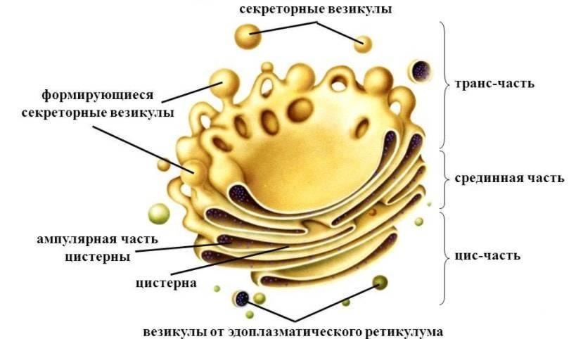 Химический состав комплекса гольджи