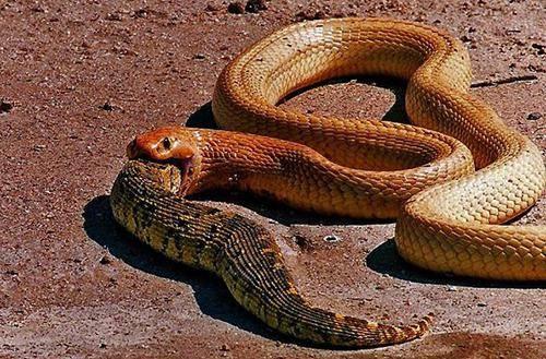 Чем питается змея