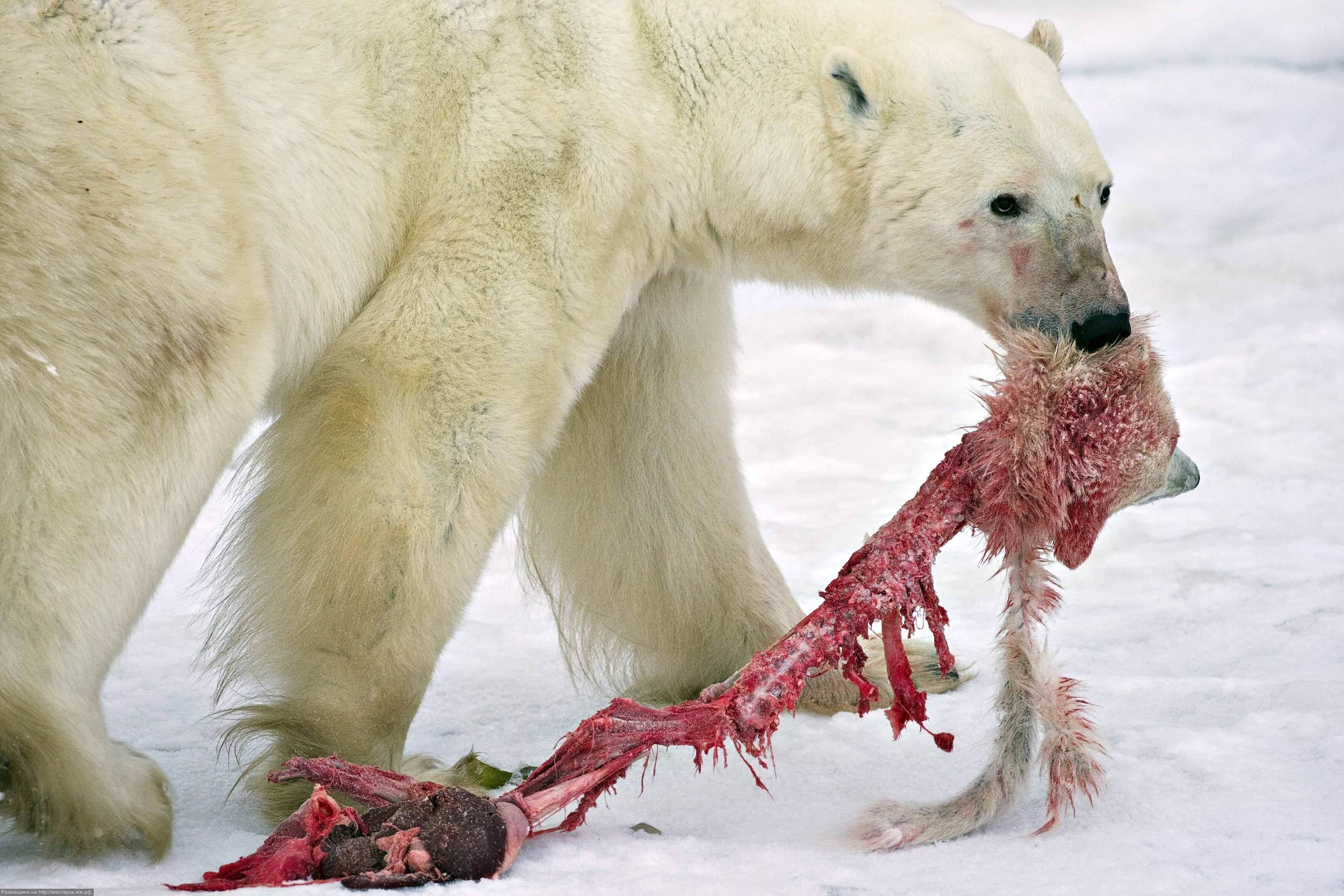 A male polar bear drags the remains of a polar bear cub it killed and cannibalized in an area about 300km north of the Canadian town of Churchill