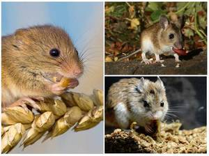 Чем питаются мыши в лесу