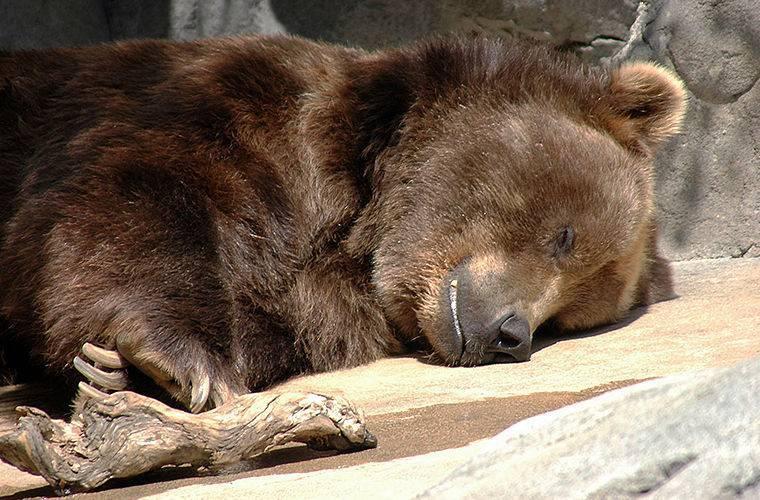 Медведь в спячке фото