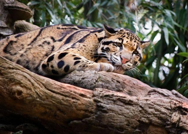 Дымчатый леопард: описание породы с фотографиями и видео