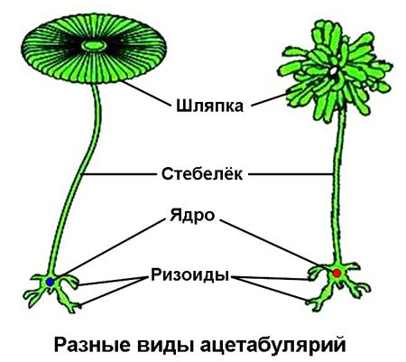 Клетки содержащие ядро называются