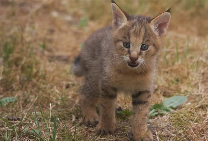 Болотный кот фото