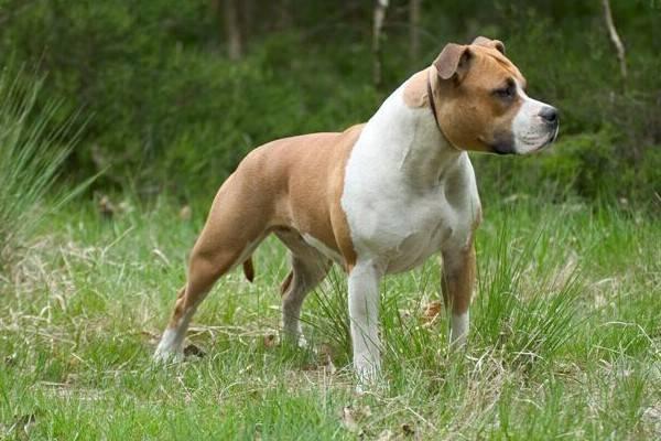Самая опасная собака в мире фото