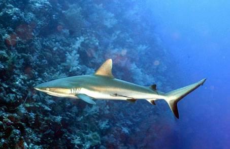 Акулы тихого океана