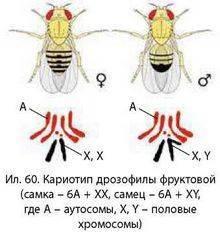 Какова функция хромосом