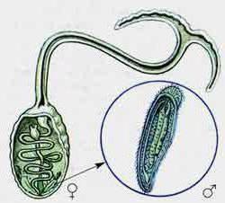 Изогамия примеры организмов