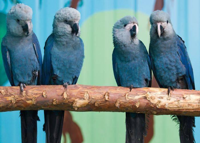 Голубые ары фото