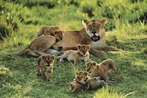 Сколько весит взрослый лев