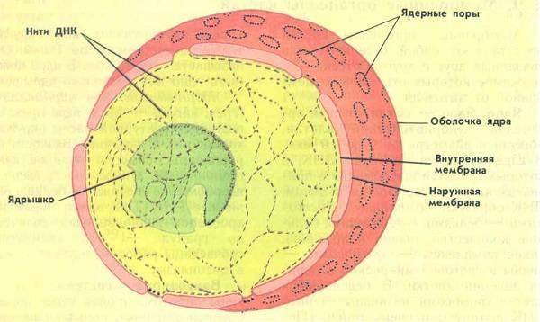 Ядро клетки картинки