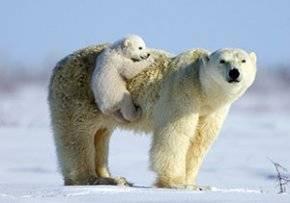 Животный мир северного полюса