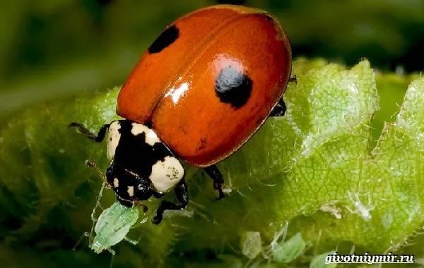 Божья коровка описание насекомого