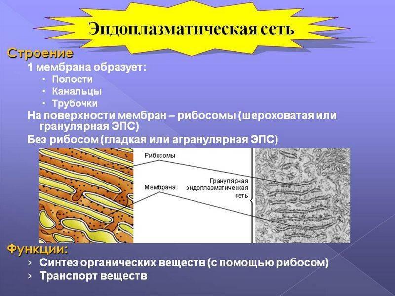 Эндоплазматическая сеть строение и функции таблица