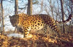 Сибирский леопард