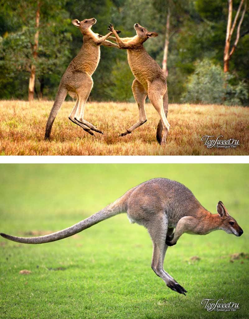 Животные обитающие в австралии