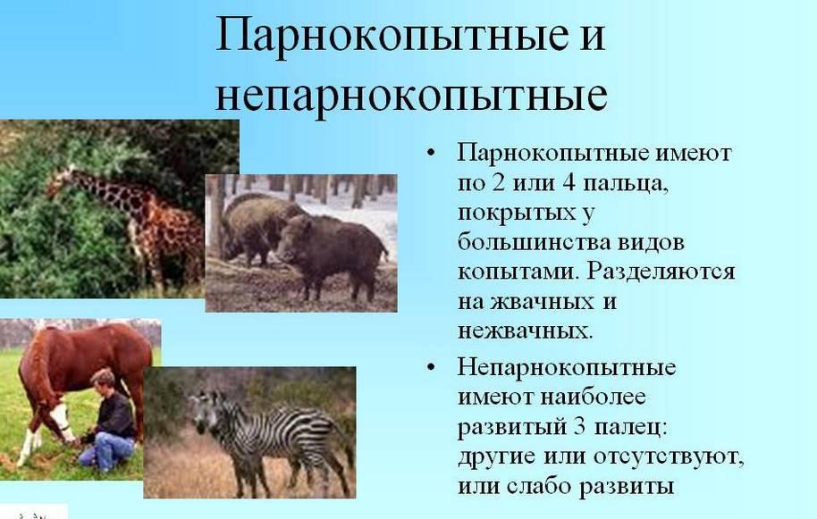 Однокопытные животные