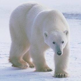 Краткая информация о белом медведе