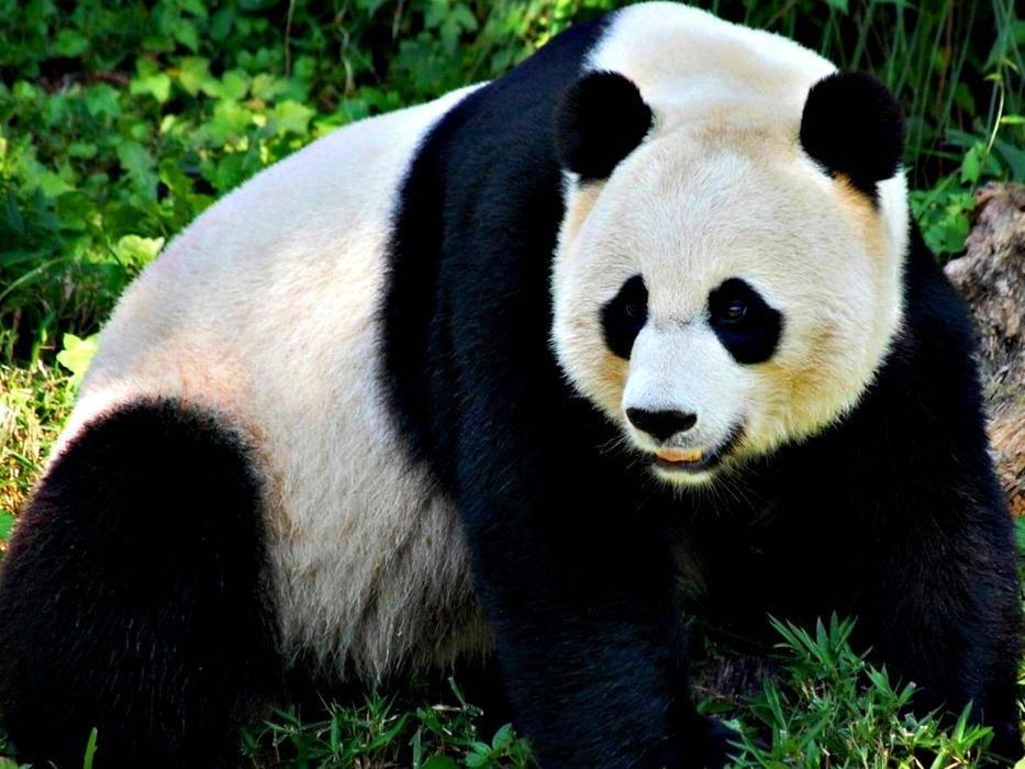 гигантская панда игровые