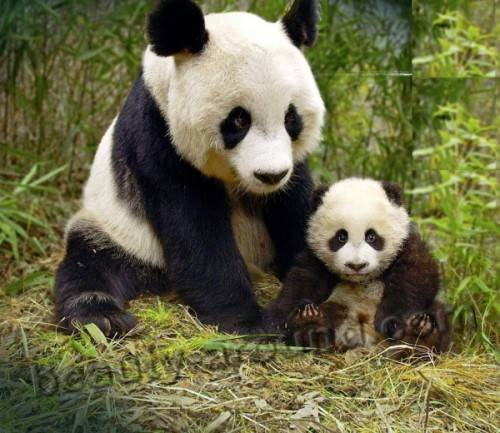 Чем питается большая панда