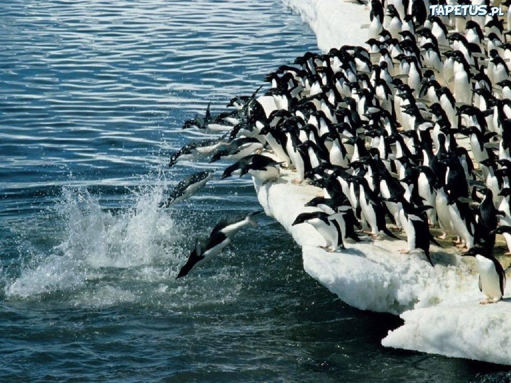 Как ходят пингвины
