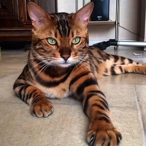 Как называется порода кошек похожих на леопарда